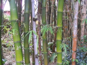 Bamboo grove in Kauai